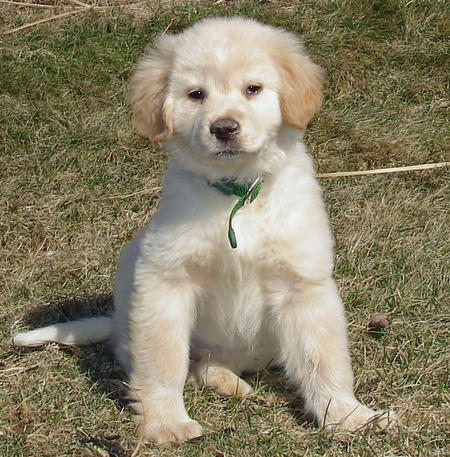 Labrador golden retriever hybrid